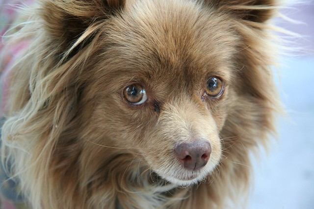 Sammy the Pomeranian / Terrier Mix | Flickr - Photo Sharing!
