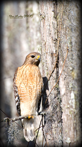 brown black bird yellow gold golden valdosta hawk tan shoulder grandbay lowndes redshouldered buteo shouldered lineatus d80