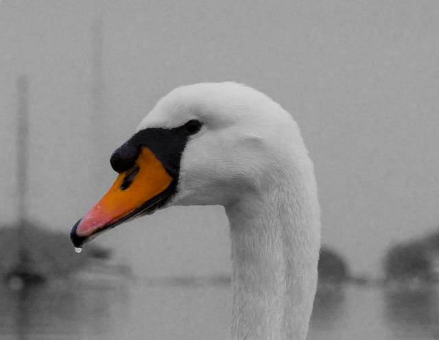 Swan Beak | Flickr - Photo Sharing!