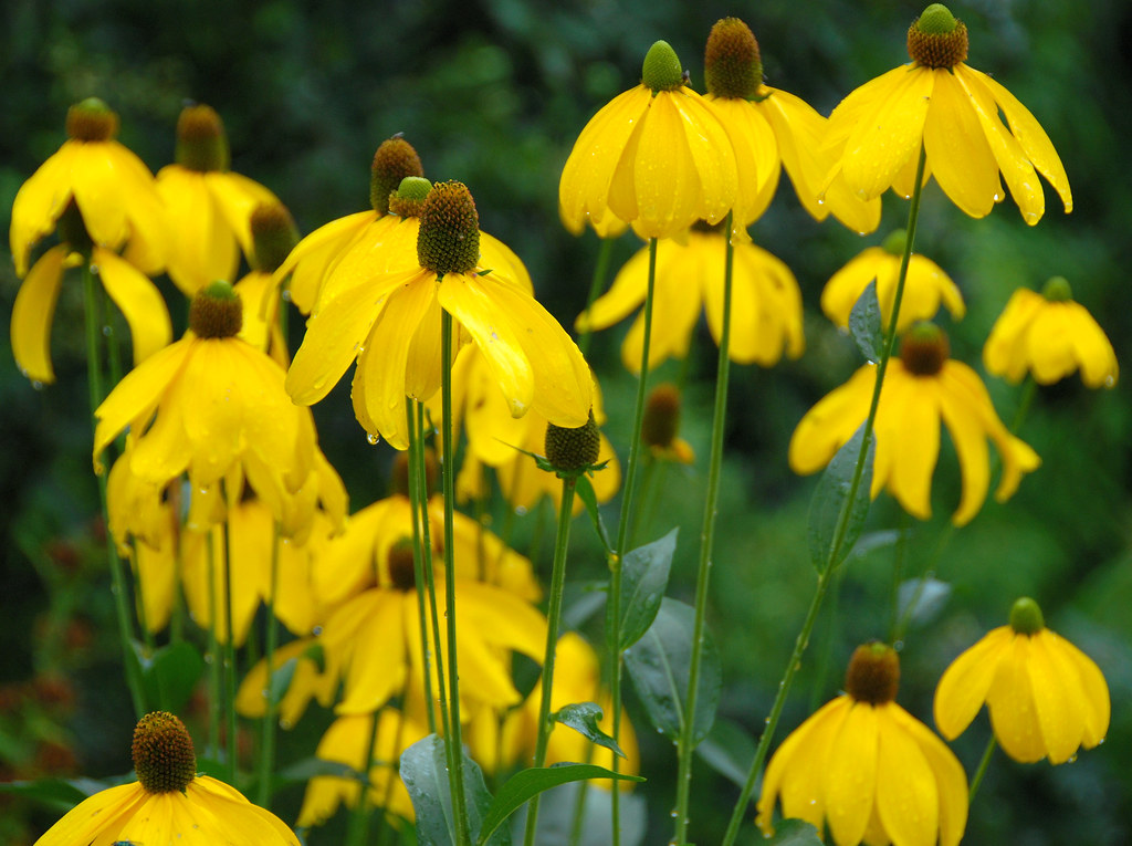 The Beth Chatto Gardens - Floating in a Sea of Yellow!