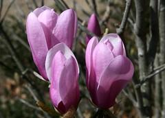 flower, magnolia, plant, flora, cyclamen, petal,