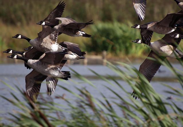 Barnaclas canadienses en la Reserva de Leighton Moss, Inglaterra