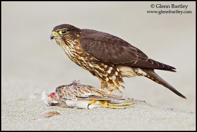 Falconiformes. sub Falconidae - sub fam Falconinae - gênero Falco 3875674061_4daa140429_z