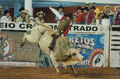 western riding(0.0), equestrian sport(0.0), fair(0.0), barrel racing(0.0), animal sports(1.0), rodeo(1.0), cattle-like mammal(1.0), bull(1.0), event(1.0), sports(1.0), charreada(1.0), bull riding(1.0),