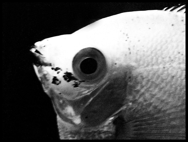 Black and white goldfish   Flickr - Photo Sharing!