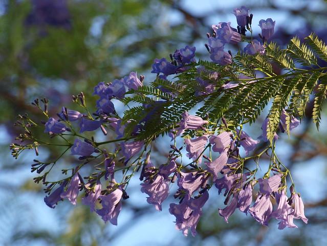 Jacaranda Mimosifolia Flowers - another viewJacaranda Mimosifolia Flowers