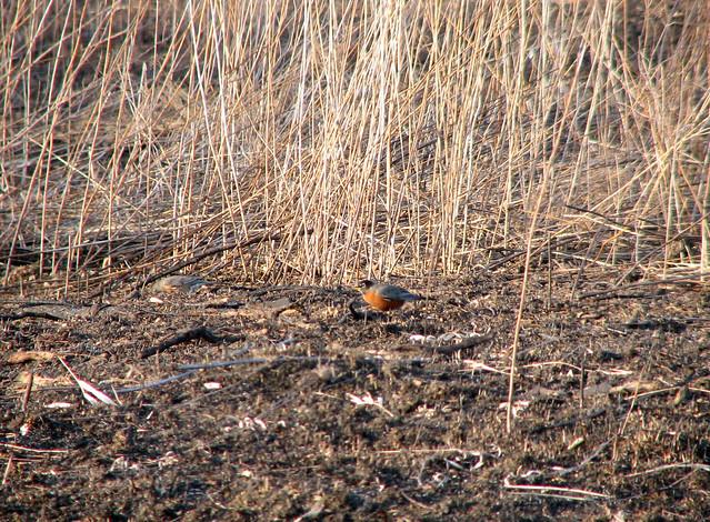 Robin on burnt ground