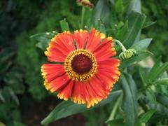 gaillardia, annual plant, flower, macro photography, wildflower, flora, plant stem, petal,