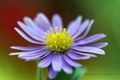 aster in a windy day-FP
