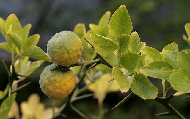 Poncirus trifoliata oder Bitterorangen aus Winterthur