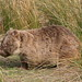 Common Wombat - Photo (c) Duncan, some rights reserved (CC BY-SA)