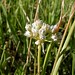 Small photo of Allium textile erect head