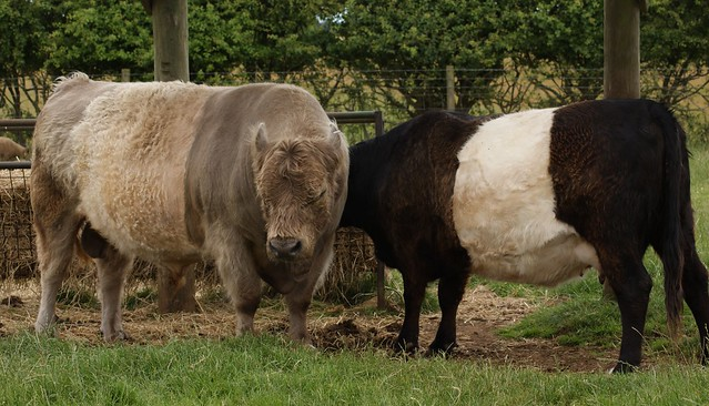 Belted Galloway Cattle http://www.flickr.com/photos/38030576@N07/3714692544/