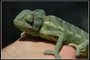 "<a href=""http://www.flickr.com/photos/finklez/3723396876/"">Photo of Chamaeleo chamaeleon by Eran Finkle</a>"