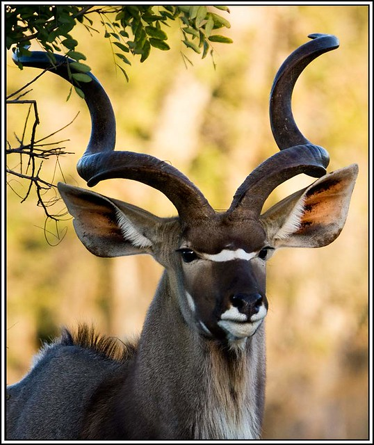 kudu bull with trophy horns