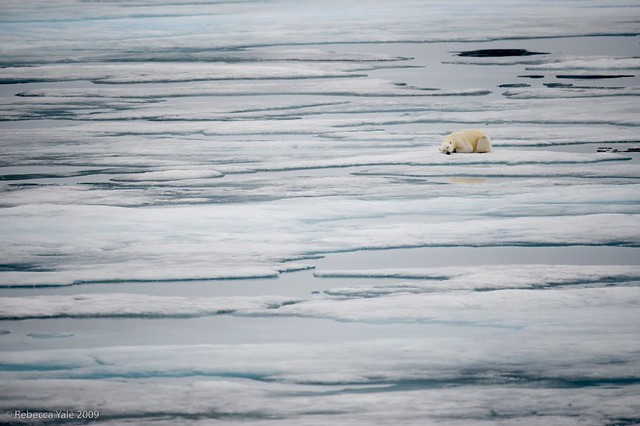 Arctic Fauna: Polar Bear in the Ice