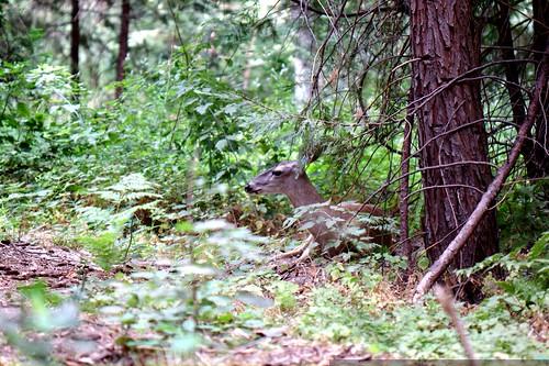 deer in the brush    MG 4360