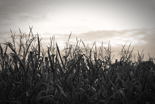 sepia town cornfields milford delaware