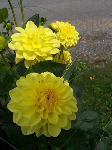 More yellow dahlias