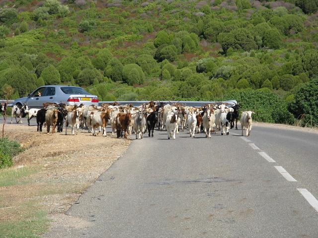 CAPRE IN ARRIVO sulla strada lungo la costa del sud (Sardegna)