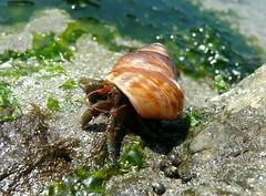 Einsiedlerkrebs Hermit Crab
