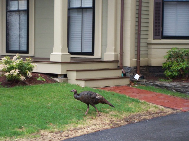 wild turkey walks through neighborhood.