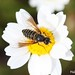 Bee...autiful fly! by meletver