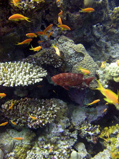 Big eye squirrel fish and anthias on house reef explore for Big eye squirrel fish