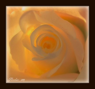 The Softness of a Rose by J.Everhart