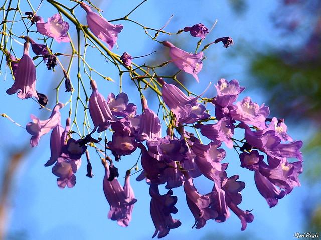 Jacaranda Mimosifolia FlowersJacaranda Mimosifolia Flowers