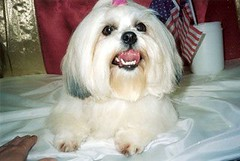 dandie dinmont terrier(0.0), dog breed(1.0), animal(1.0), dog(1.0), cavachon(1.0), schnoodle(1.0), pet(1.0), coton de tulear(1.0), lã¶wchen(1.0), tibetan terrier(1.0), bolonka(1.0), biewer terrier(1.0), havanese(1.0), lhasa apso(1.0), morkie(1.0), bichon(1.0), chinese imperial dog(1.0), maltese(1.0), bolognese(1.0), shih tzu(1.0), carnivoran(1.0),