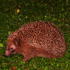 hedgehog in my garden