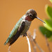 Hummingbirds - Photo (c) Anders Illum, some rights reserved (CC BY-NC-ND)