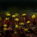 Delightful Yellow Sporangia