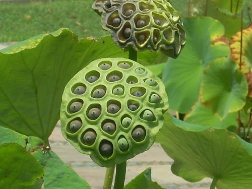 semilla flor de loto