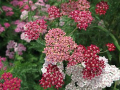 yarrow, annual plant, flower, herb, flora,