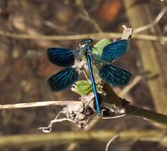 Ebony Jewelwing damselfly wings open