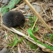 Baby Mole (?) by labguest