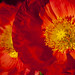 Poppies-15944 by BobBauer
