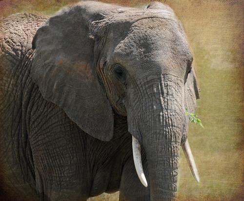tanzania elephants tarangire eastafrica abigfave vosplusbellesphotos mauekay