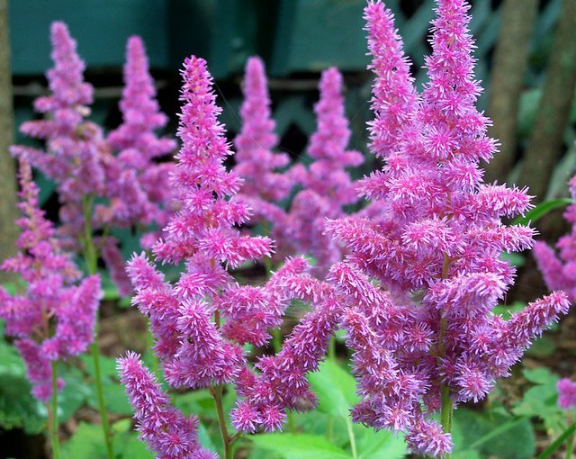 flores jardim perenes:Close-up, purple astilbe, late July 2009