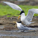 Crested Tern by steve happ