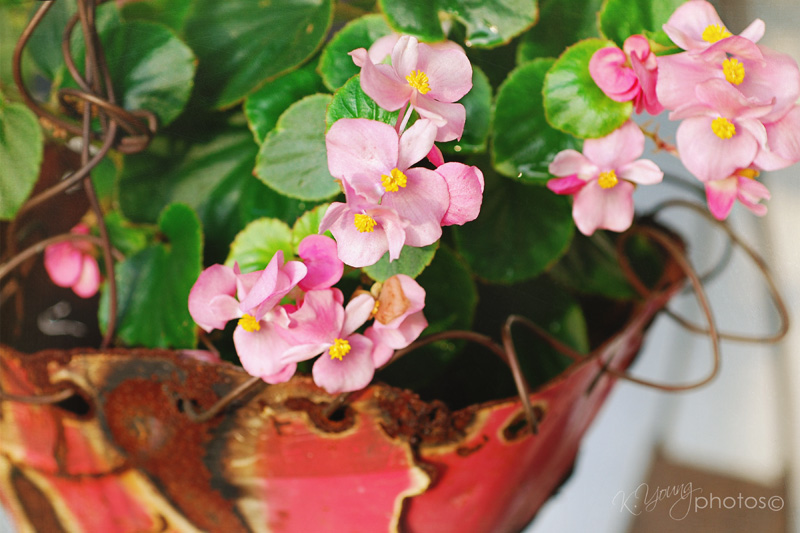 a picture a day begonias in planter. Black Bedroom Furniture Sets. Home Design Ideas