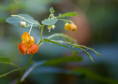 flower green water nc drops bokeh northcarolina wildflower lincolncounty davidhopkinsphotography ncpedia
