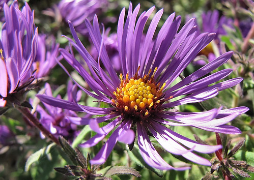 New England Aster - closer