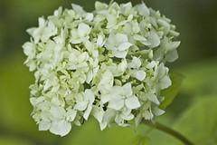 hortensia õis