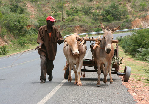 Cow Pulling Wagon : A donkey and cow pull the cart together flickr photo