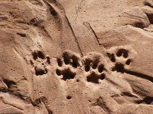 arizona usa sierravista sierravistaarizonausa coyotefootprints