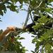 Albino spider monkey - Cano Negro National Wildlife Refuge. by lens gazer