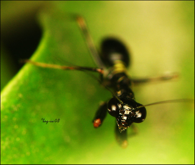This tiny mantis is the size of a small ant. As young insects they mimic ...